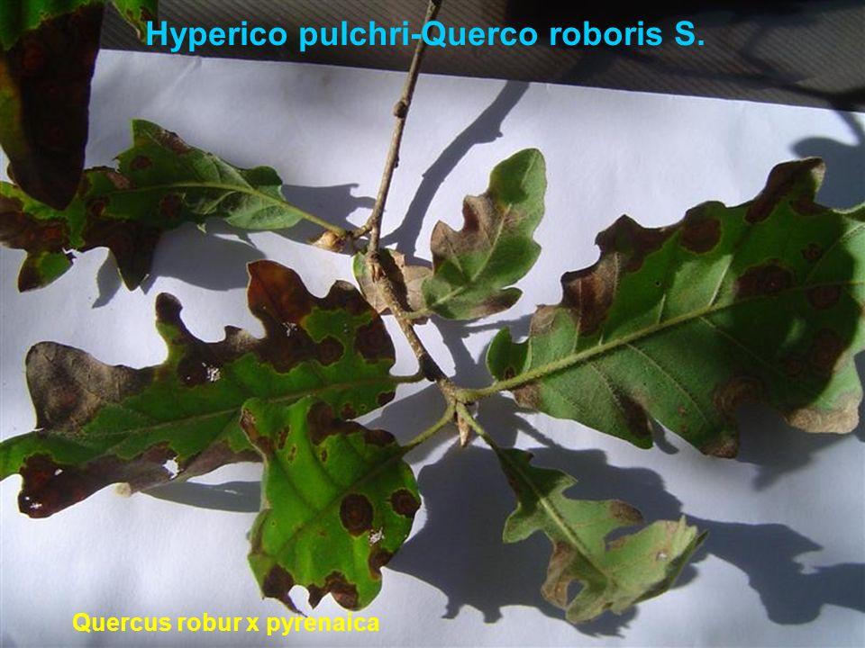 Hyperico pulchri-Querco roboris S. Quercus robur x pyrenaica