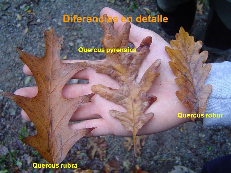 Diferencias en detalle Quercus rubra Quercus robur Quercus pyrenaica