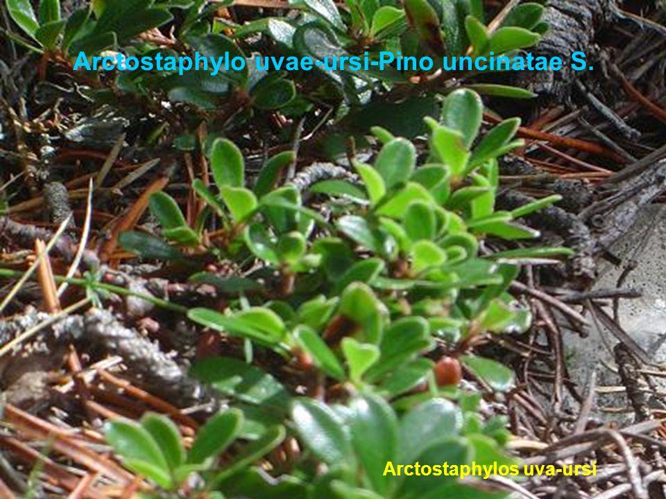 Spiraeo obovatae-Querco rotundifoliae s. Prunus mahalebBorde de bosque
