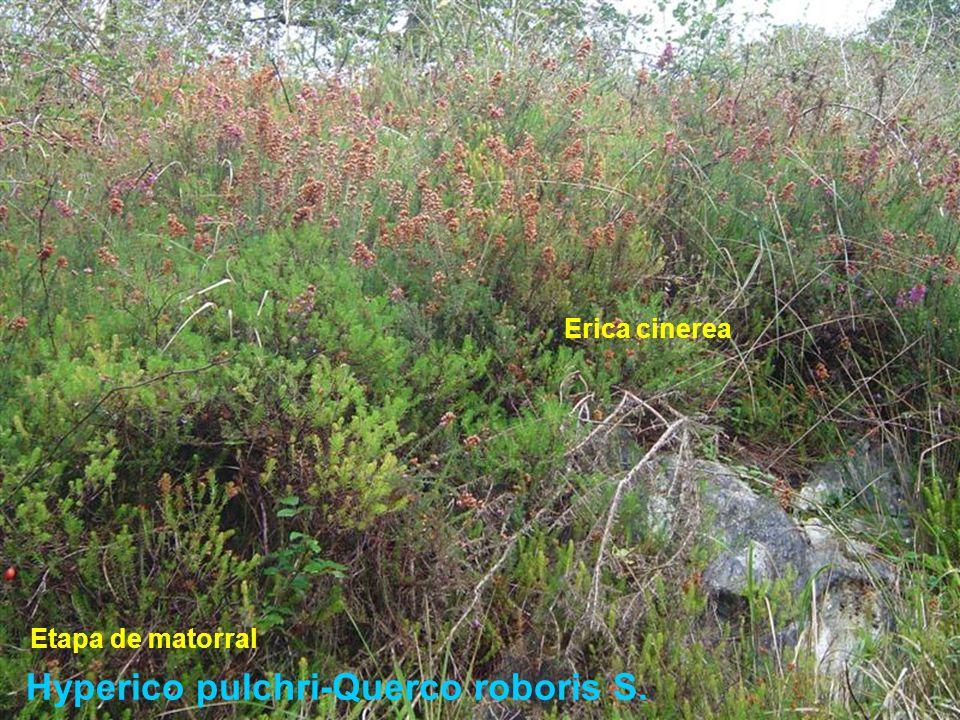 Hyperico pulchri-Querco roboris S. Erica cinerea Etapa de matorral