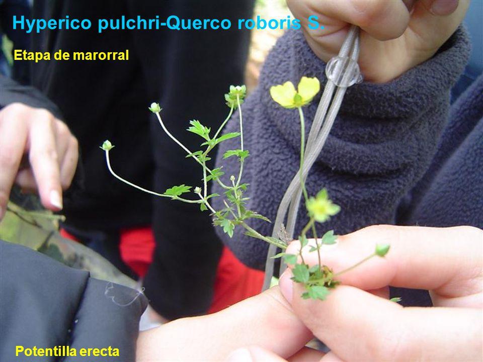 Hyperico pulchri-Querco roboris S. Potentilla erecta Etapa de marorral