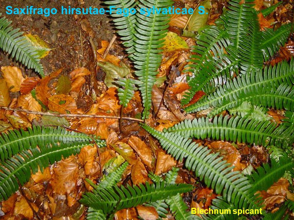 Saxifrago hirsutae-Fago sylvaticae S. Blechnum spicant