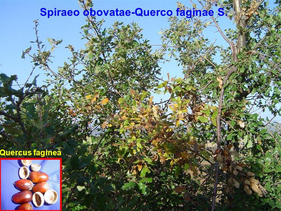Spiraeo obovatae-Querco faginae S. Quercus faginea