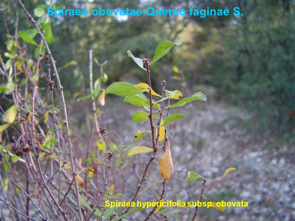 Spiraeo obovatae-Querco faginae S. Spiraea hypericifolia subsp. obovata