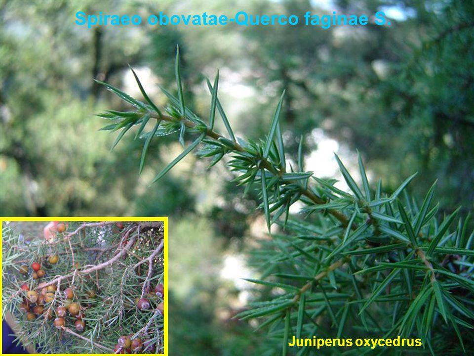 Spiraeo obovatae-Querco faginae S. Juniperus oxycedrus