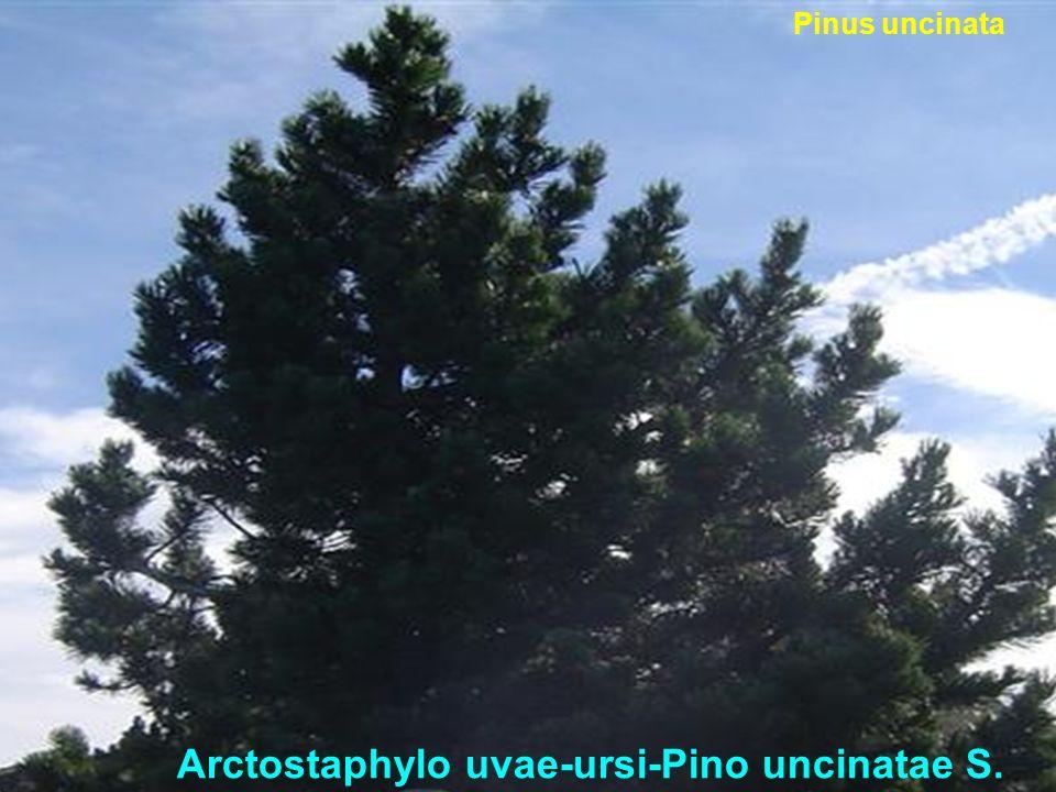 Hyperico pulchri-Querco roboris S. Quercus robur Borde de bosque Climax
