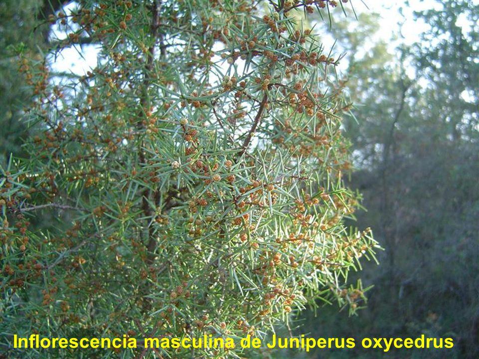 Inflorescencia masculina de Juniperus oxycedrus