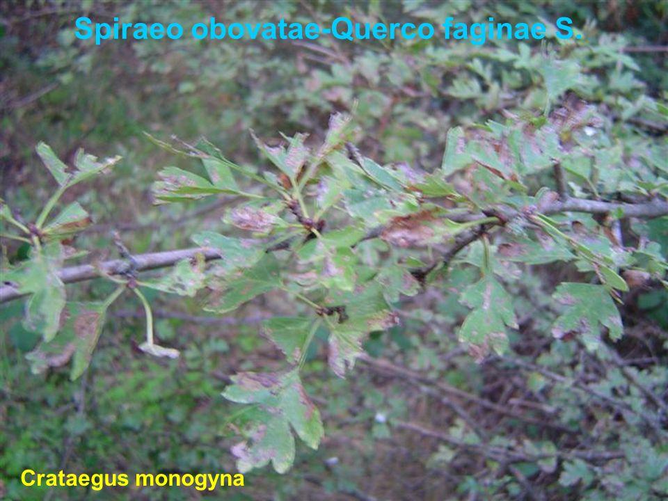 Spiraeo obovatae-Querco faginae S. Crataegus monogyna