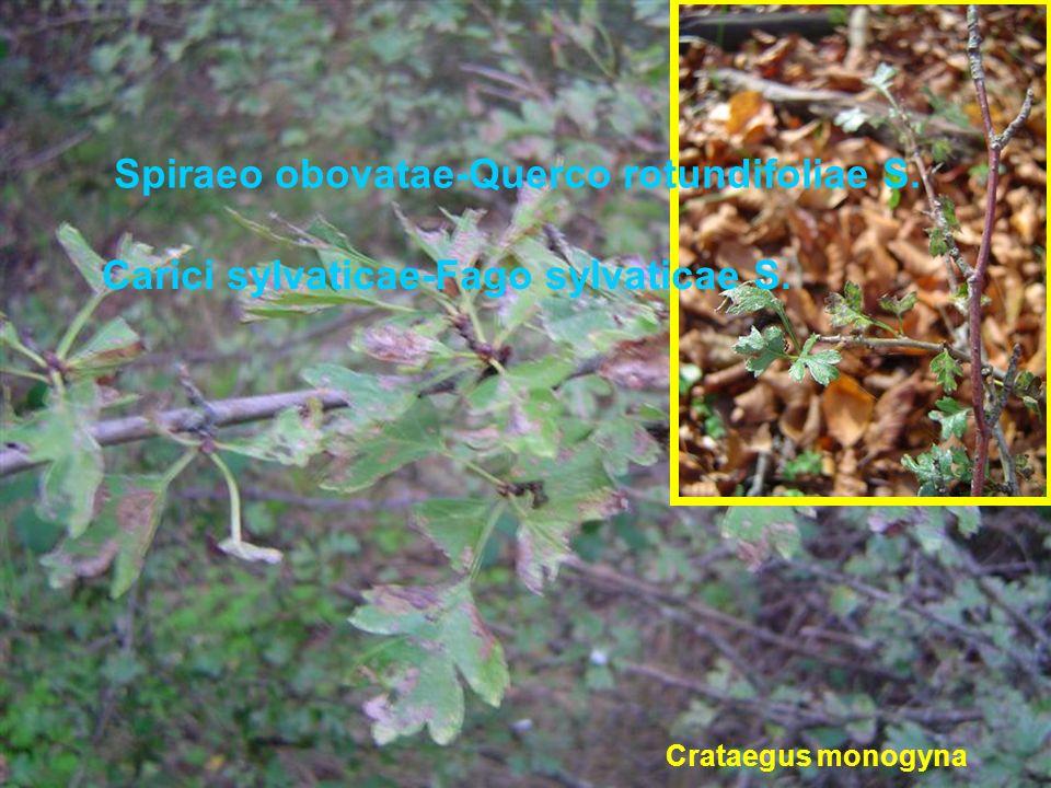 Crataegus monogyna Spiraeo obovatae-Querco rotundifoliae S. Carici sylvaticae-Fago sylvaticae S.