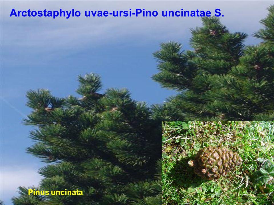 Piña inmadura de Pinus uncinata