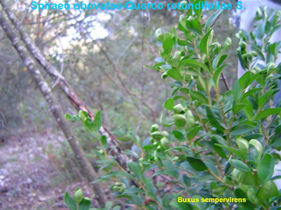 Spiraeo obovatae-Querco rotundifoliae S. Buxus sempervirens