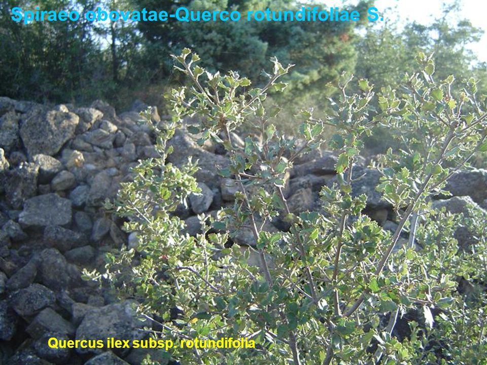 Spiraeo obovatae-Querco rotundifoliae S. Quercus ilex subsp. rotundifolia