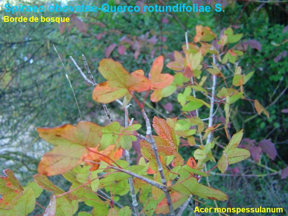 Spiraeo obovatae-Querco rotundifoliae S. Acer monspessulanum Borde de bosque