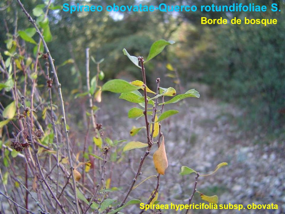 Spiraeo obovatae-Querco rotundifoliae S. Spiraea hypericifolia subsp. obovata Borde de bosque