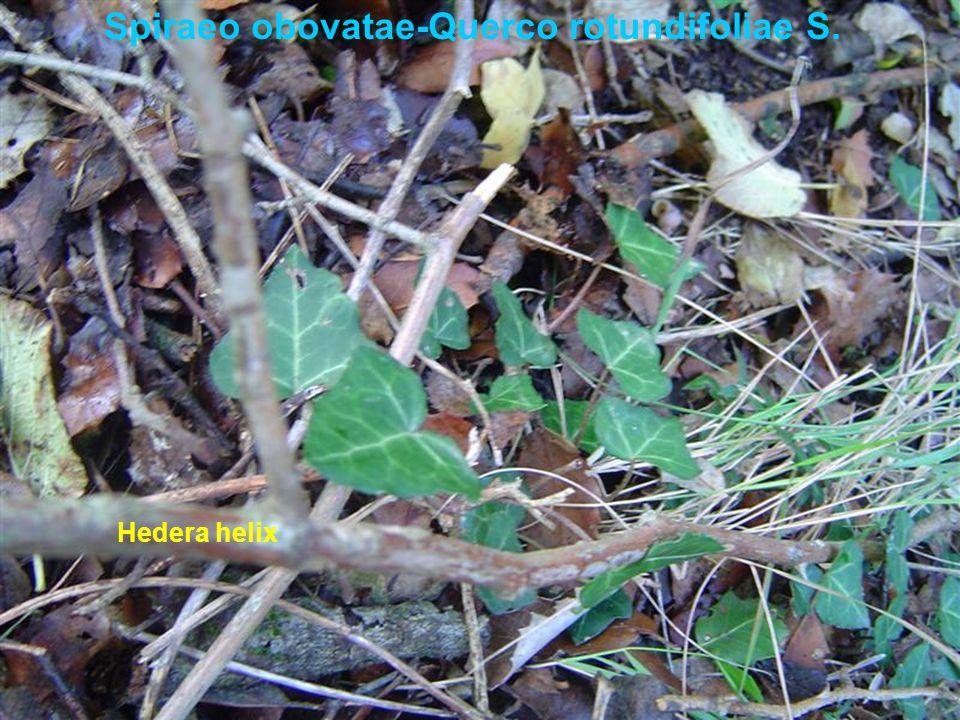 Spiraeo obovatae-Querco rotundifoliae S. Hedera helix