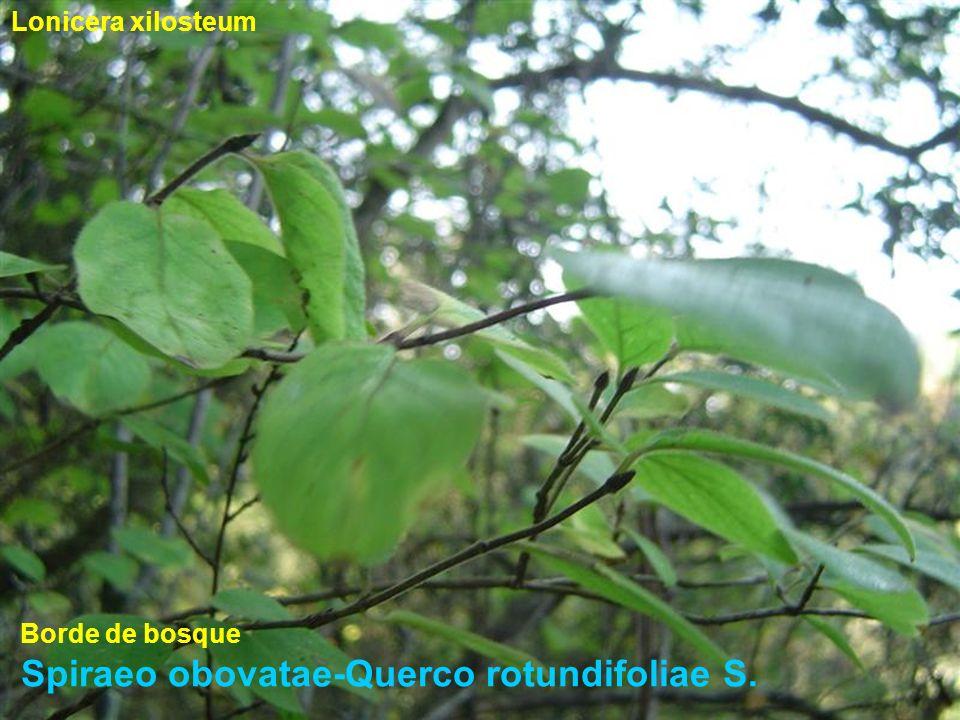Spiraeo obovatae-Querco rotundifoliae S. Lonicera xilosteum Borde de bosque