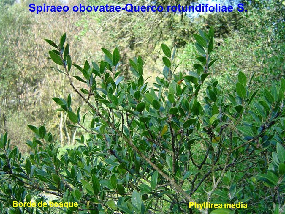 Spiraeo obovatae-Querco rotundifoliae S. Phyllirea media Borde de bosque