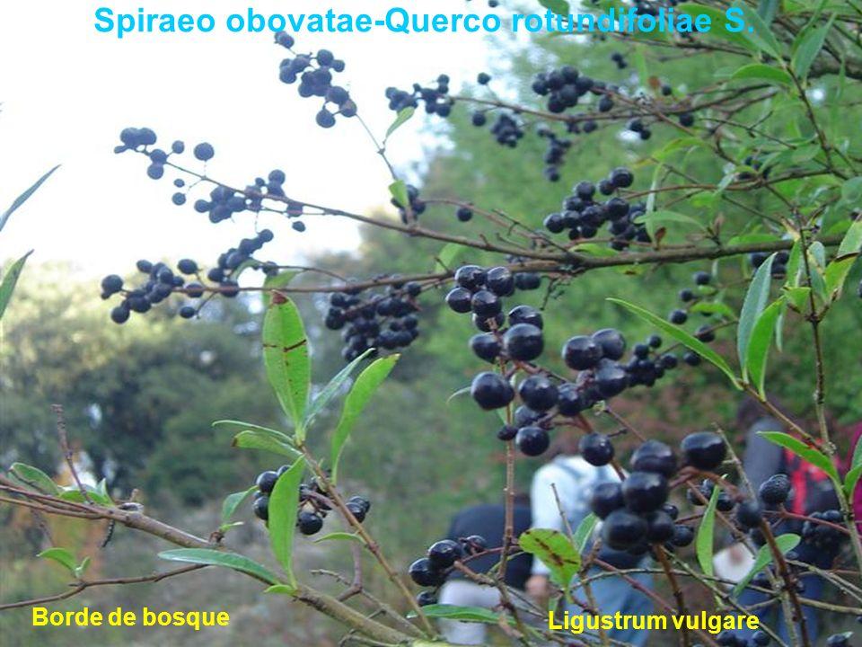 Spiraeo obovatae-Querco rotundifoliae S. Ligustrum vulgare Borde de bosque