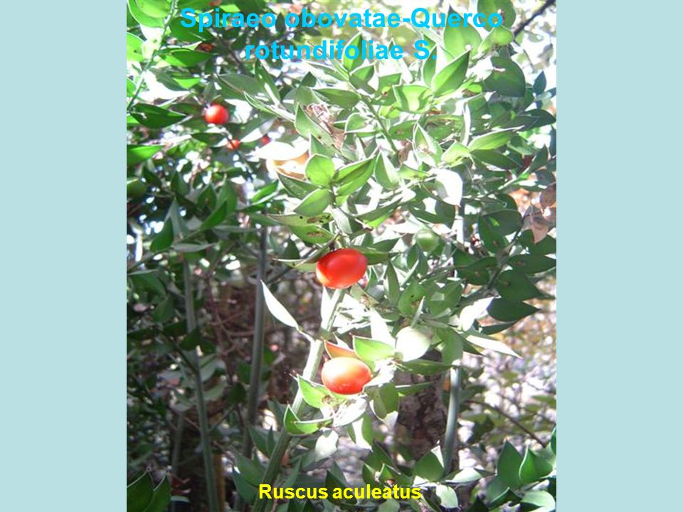 Spiraeo obovatae-Querco rotundifoliae S. Ruscus aculeatus