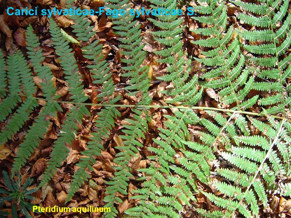 Carici sylvaticae-Fago sylvaticae S. Pteridium aquilinum