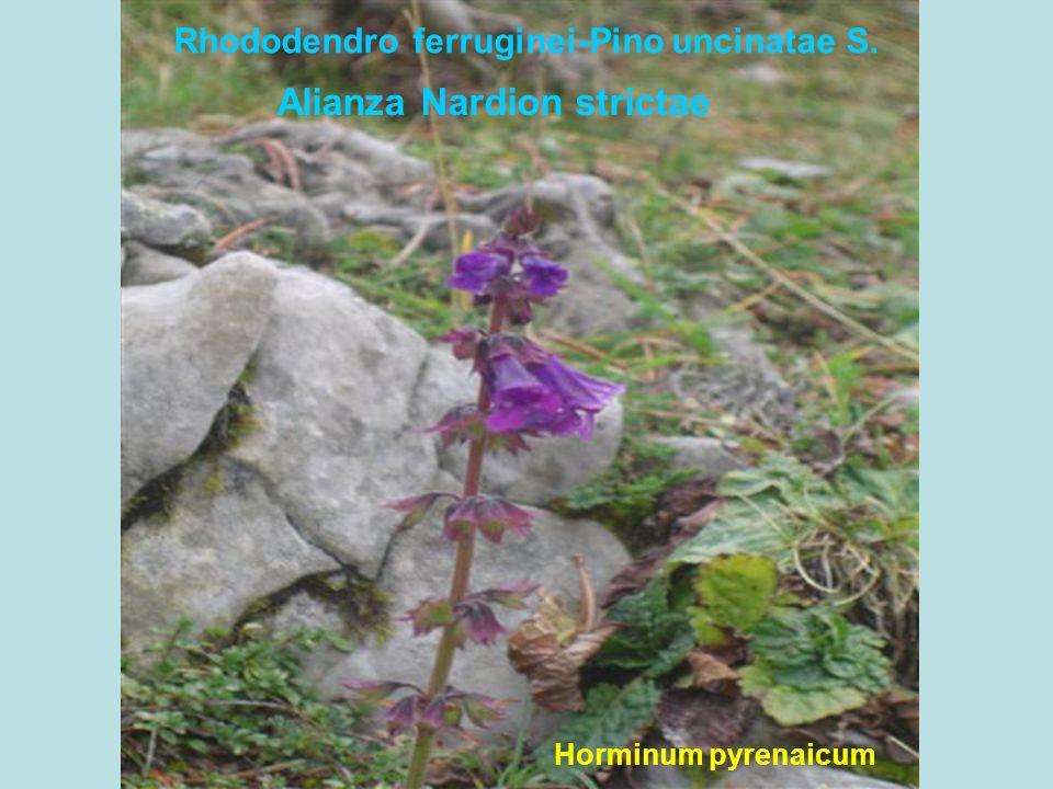 Arctostaphylo uvae-ursi-Pino uncinatae S. Daphne laureola
