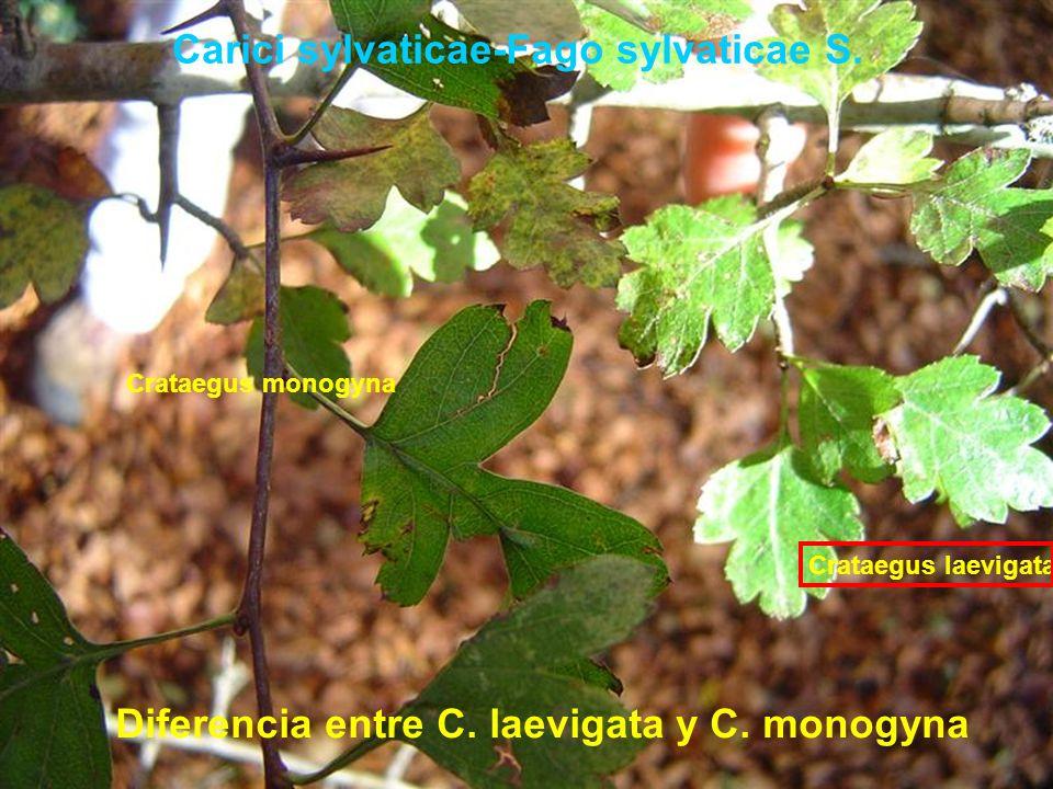 Carici sylvaticae-Fago sylvaticae S. Diferencia entre C. laevigata y C. monogyna Crataegus monogyna Crataegus laevigata