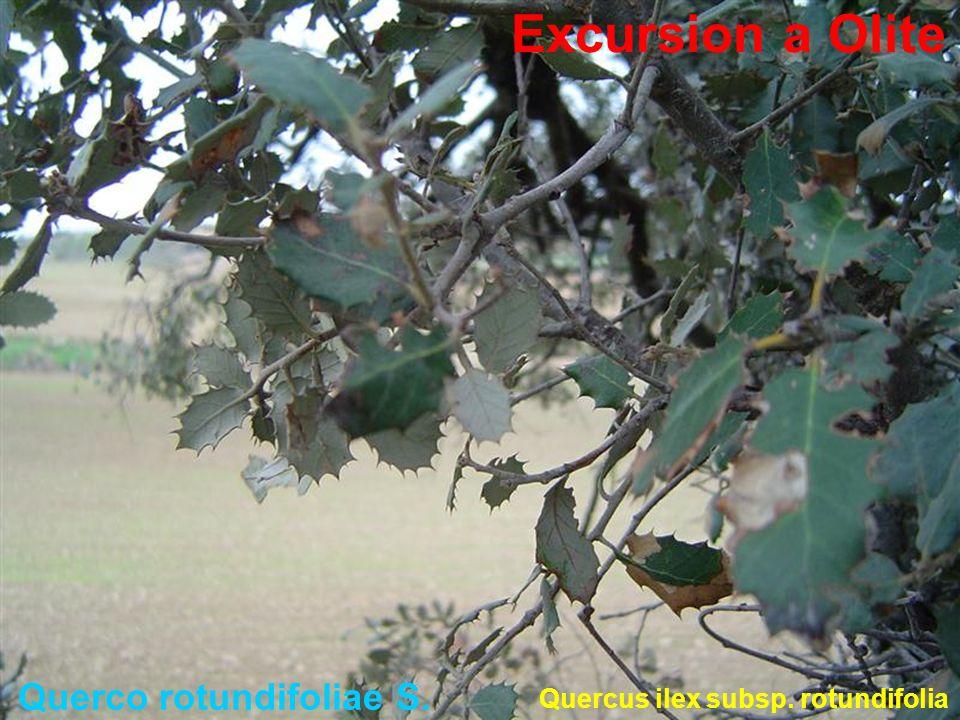 Querco rotundifoliae S. Quercus ilex subsp. rotundifolia Excursion a Olite