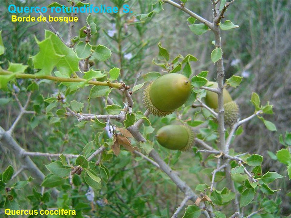 Querco rotundifoliae S. Quercus coccifera Borde de bosque
