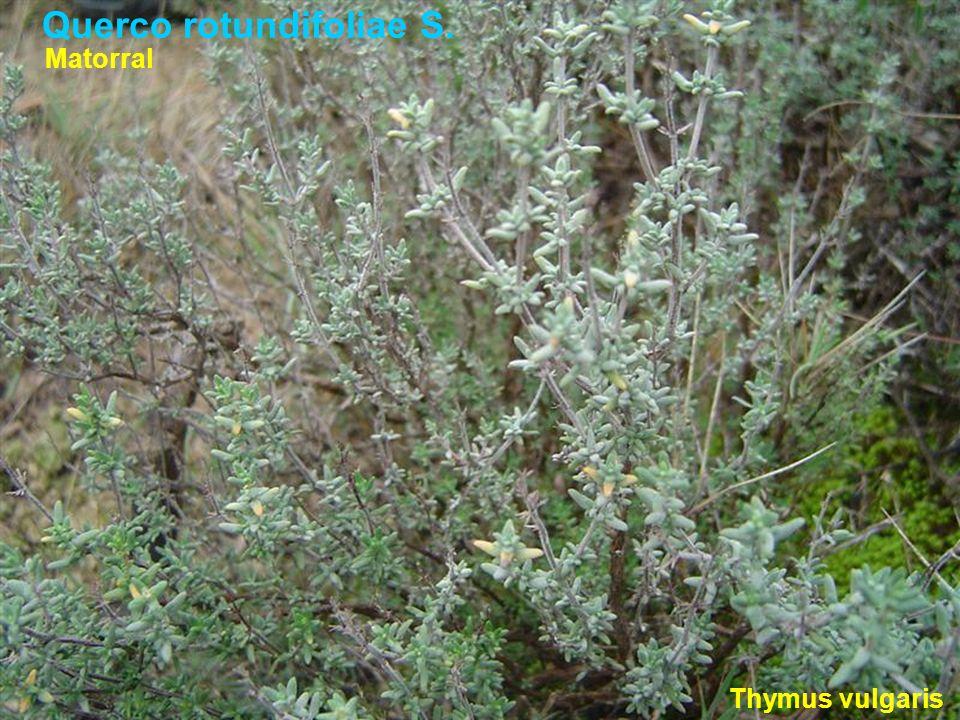 Querco rotundifoliae S. Thymus vulgaris Matorral