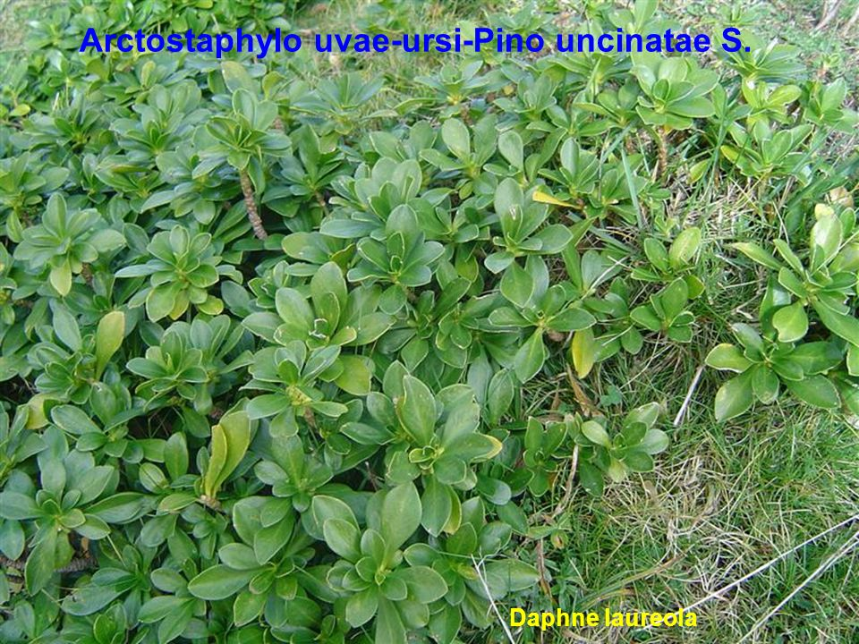Carici sylvaticae-Fago sylvaticae S. Euphorbia amygdaloides