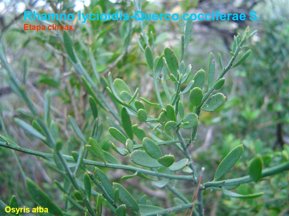 Rhamno lycioidis-Querco cocciferae S. Osyris alba Etapa climax