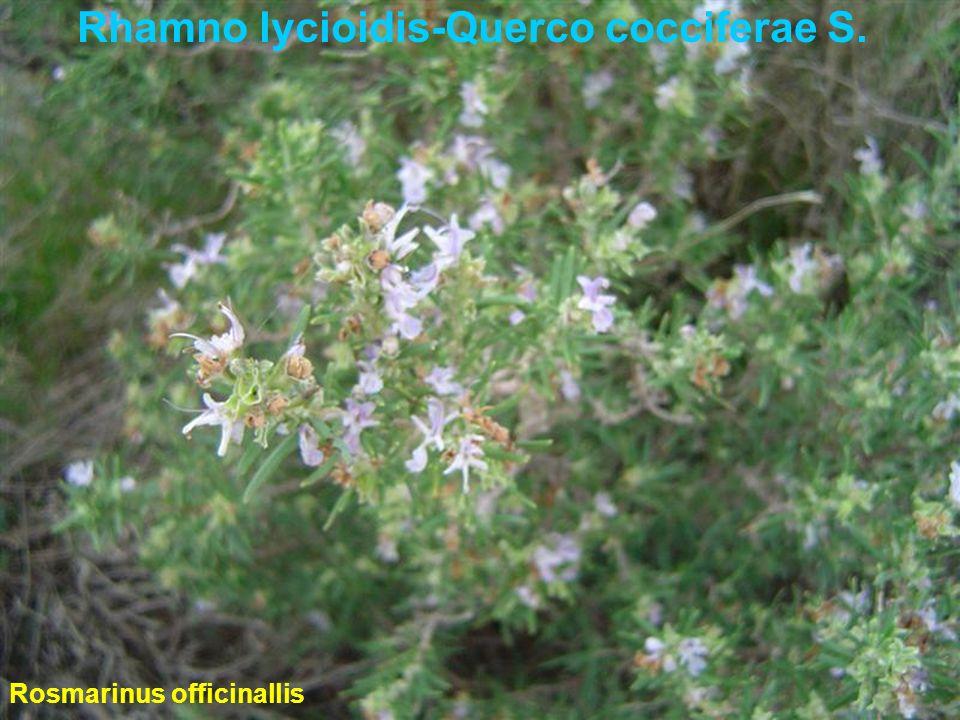 Rhamno lycioidis-Querco cocciferae S. Rosmarinus officinallis