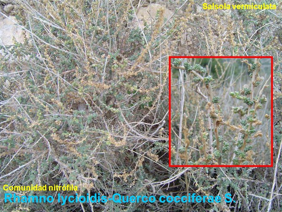 Rhamno lycioidis-Querco cocciferae S. Salsola vermiculata Comunidad nitrófila