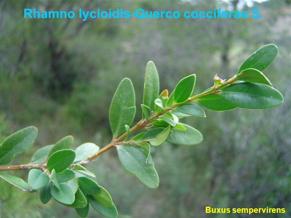 Rhamno lycioidis-Querco cocciferae S. Buxus sempervirens