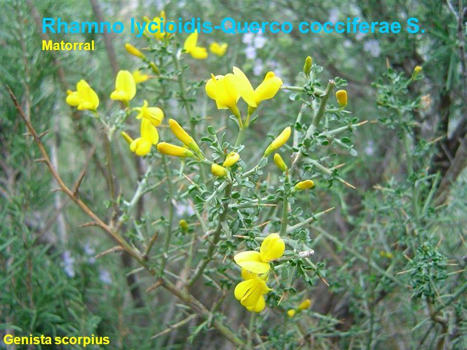 Rhamno lycioidis-Querco cocciferae S. Genista scorpius Matorral
