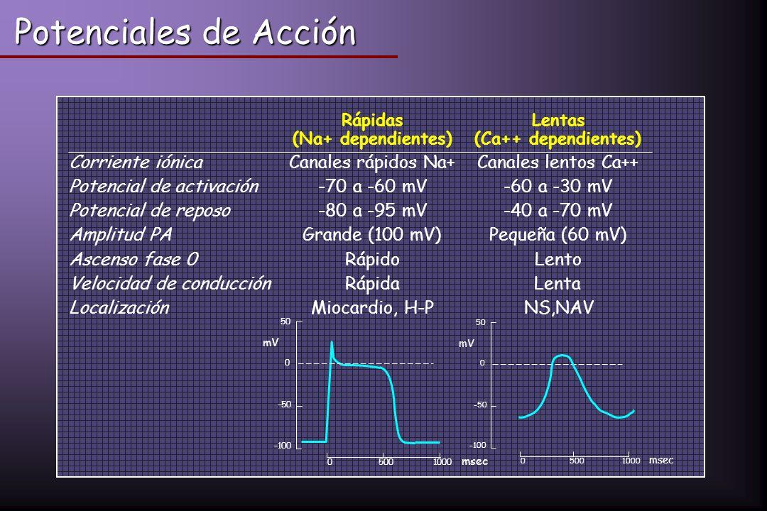 Rápidas (Na+ dependientes) Lentas (Ca++ dependientes) Corriente iónicaCanales rápidos Na+Canales lentos Ca++ Potencial de activación-70 a -60 mV-60 a