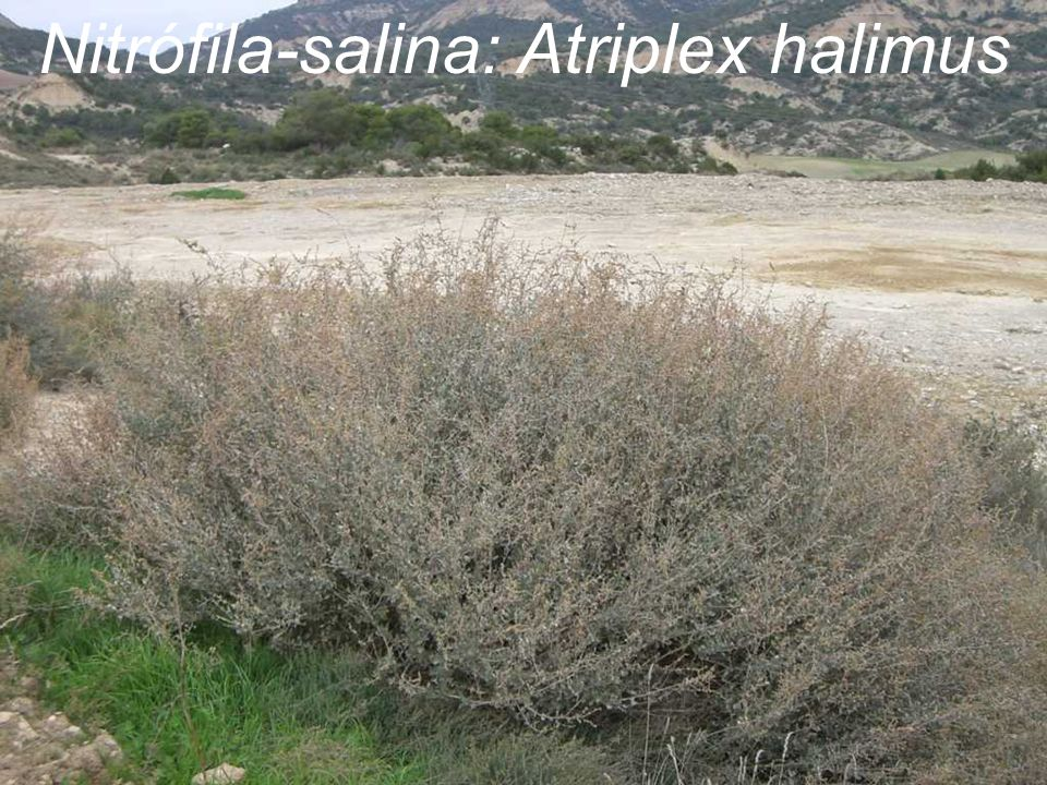Nitrófila-salina: Atriplex halimus