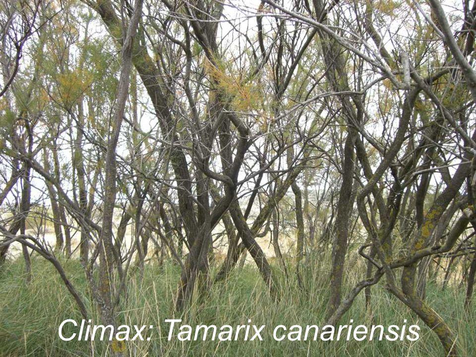 Climax: Tamarix canariensis