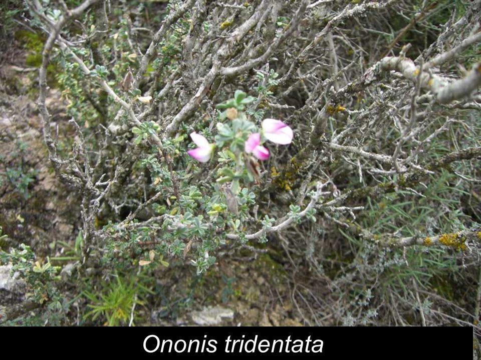 Ononis tridentata