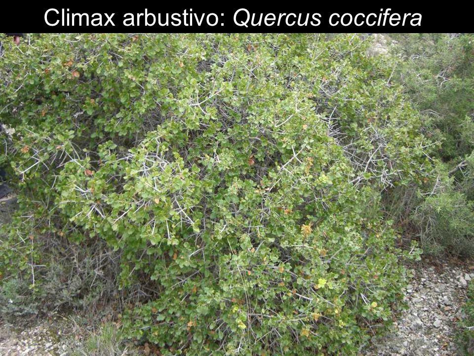 Climax arbustivo: Quercus coccifera