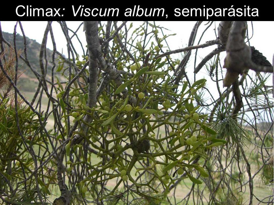 Climax: Viscum album, semiparásita
