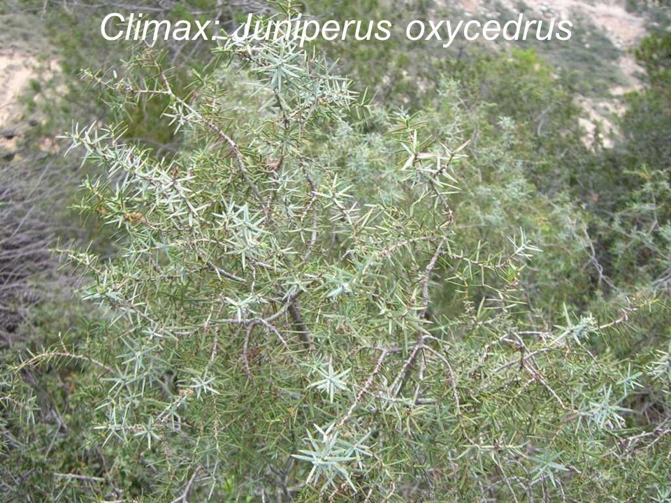 Climax: Juniperus oxycedrus