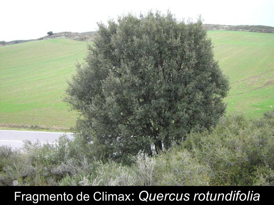 Climax arbustivo: Pinus halepensis
