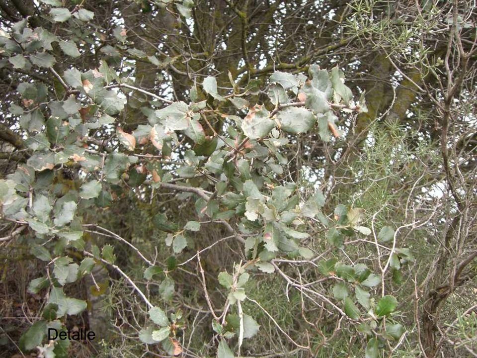 Climax arbustivo Juniperus Pinus Quercus