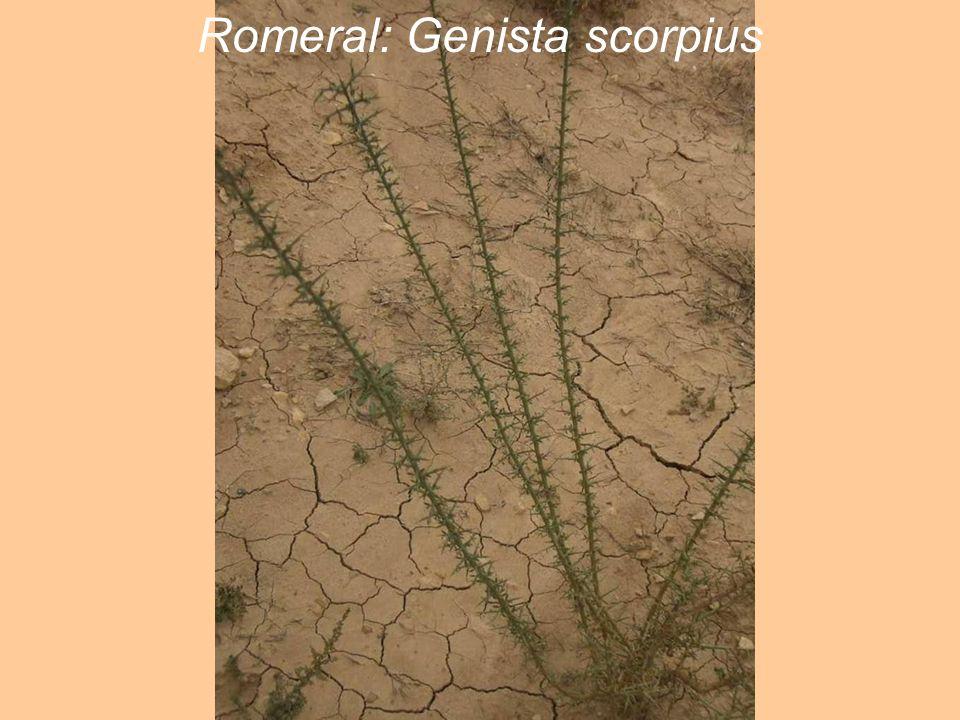 Romeral: Genista scorpius