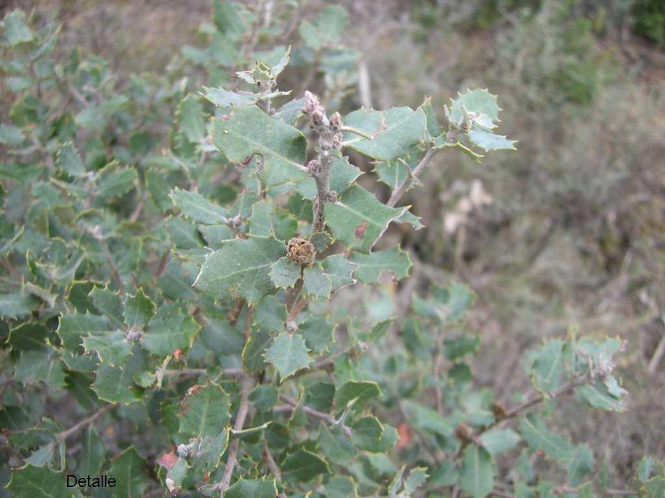 Salina: Limonium paui
