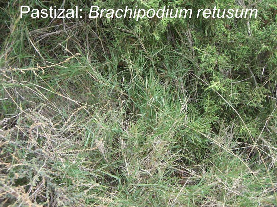 Pastizal: Brachipodium retusum