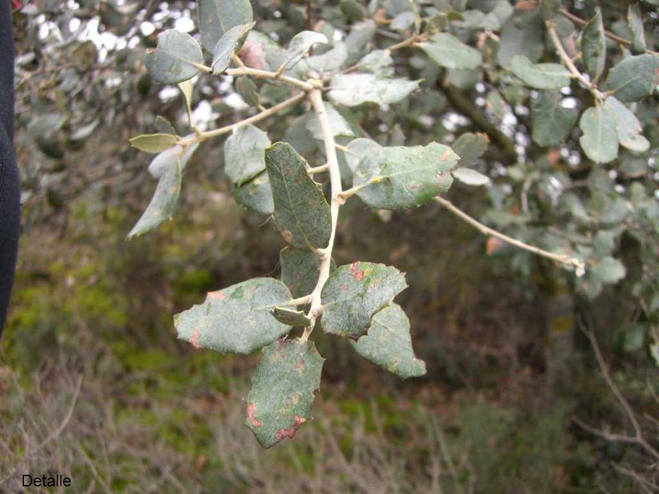 Nitrófila: Salsola vermiculata