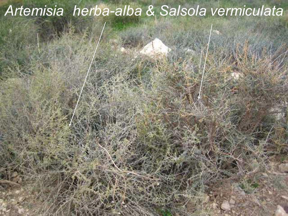 Artemisia herba-alba & Salsola vermiculata