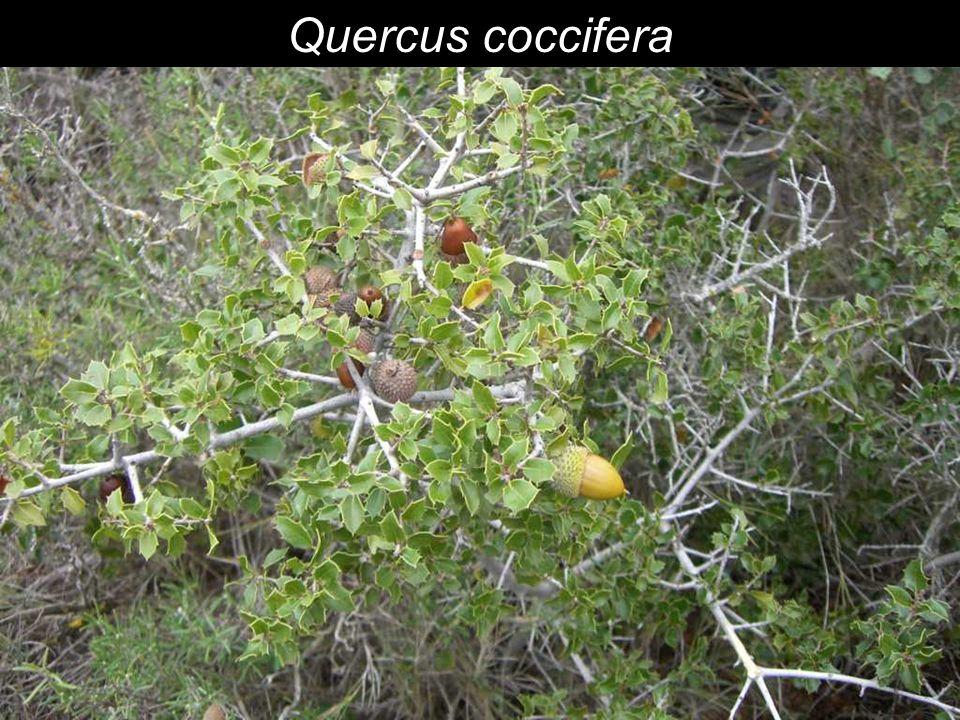 Climax: Pistacia lentiscus